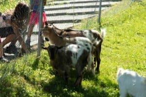 Sicherer Viehtransport mit einem Viehanhänger von Pongratz